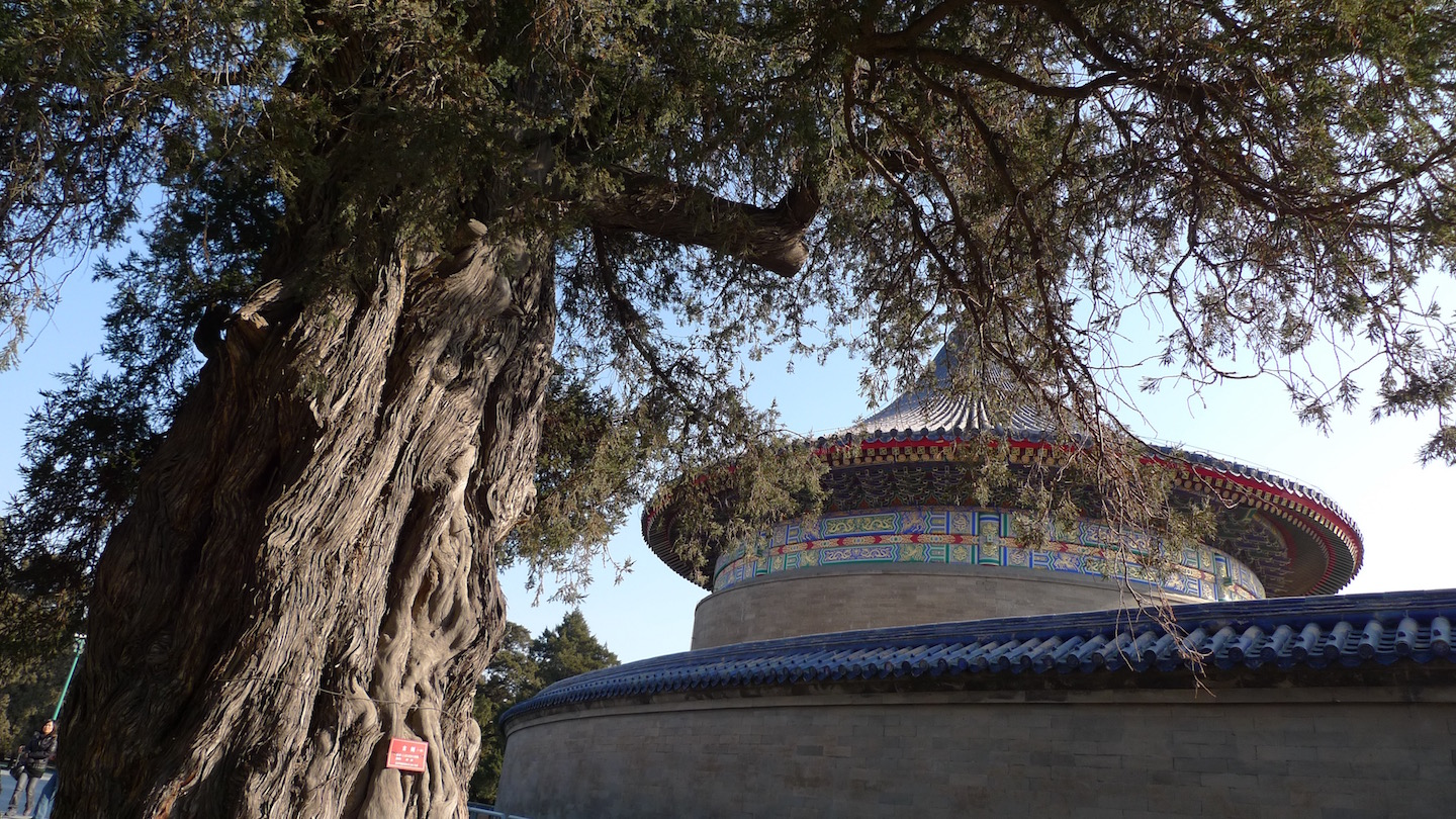 Cyprus tree Temple of Heaven